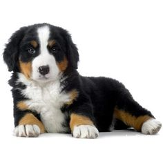 Bernese Mountain Dog ❤ liked on Polyvore featuring pets, animals and home