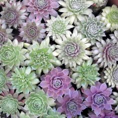 Rock your PaRTy with 100 of Succulent Plants by sosucculent, $180.00