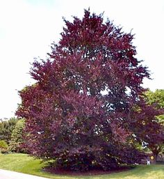 ornamental trees. Purple Beech (Fagus sylvatica Purpurea).  large deciduous tree, spreading branches dark purple foliage all season long turn copper in autum, shimmering bronze in spring. widely planted in large parks With its smooth grey bark and delicate tracery of branches. zone: 5a Max. height 60', growth:slow, Spring/summer foliage:purple leaves,Sun. ---  quite particular about growing conditions, requires rich soil and significant moisture.---> Nix.