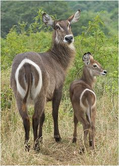 The Waterbuck - Kopbus ellipsiprymnus, is a large antelope found widely in Sub-Saharan Africa .
