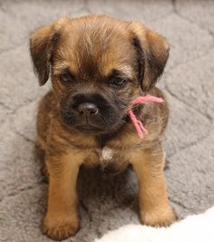 Can't even handle it, I need another one! Border Terrier Welpen, Border Terrier Puppy, Terrier Puppies, Terriers, Patterdale Terrier, Cute Puppies, Dogs And Puppies, Cute Dogs, Doggies