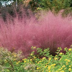 Flame Grass (Miscanthus sinensis 'Purpurascens') is grown for its changing foliage that emerges green in spring and dances in hues of reds and maroons into summ