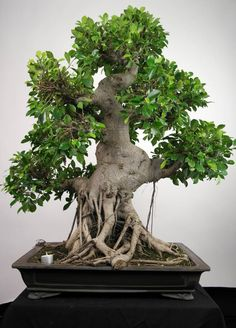 A OLD ficus bonsai tree - check out the exposed roots! How would this look as part of your home décor?