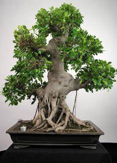 Bonsai Fig Tree, Ficus retusa, no. 3642