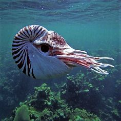 Nautiluses are the sole living cephalopods whose bony body structure is externalized as a shell.