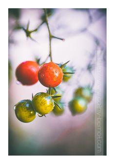 Astuce : comment récolter des tomates cerises en hiver, bio, écolo, locavore #tomate #hiver #bio #locavore