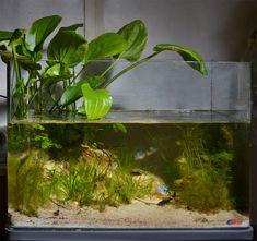 Llanos of Venezuela. Biotope for Ramirezis Aquarium Terrarium, Glass Aquarium, Aquarium Design, Aquarium Fish Tank, Planted Aquarium, Aquarium Ideas, Tropical Freshwater Fish, Freshwater Aquarium Fish, Tropical Fish