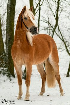 Haflinger. Beautiful horse standing in the snow.