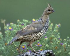 Scaled Quail can be found at Pancho Villa State Park, which is part of the SW NM Birding Trail