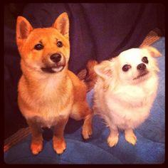 Shiba and chihuahua play date
