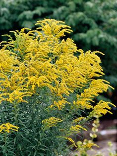 Goldenrod-Fall-Fall wouldn't be fall without the cheery yellow flowers of goldenrod. It's a tough, beautiful plant that looks good despite summer heat and drought. Note: Goldenrod isn't typically a source of allergies; this is a common misperception Fall Blooming Flowers, Fall Flowers, Yellow Flowers, Flowers Perennials, Planting Flowers, Flowers Garden, Fall Perennials, Flower Gardening, Container Gardening