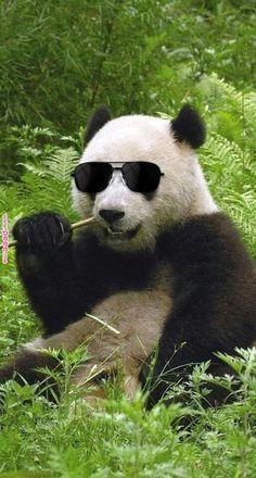 Panda - What is rewilding? Cute Panda Baby, Cool Panda, Baby Panda Bears, Baby Animals Super Cute, Cute Funny Animals, Funny Animal Pictures, Baby Pandas, Panda Facts, Panda Meme