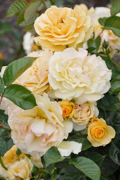 Glorious yellow roses - my favorite! These will be one of the first things i plant in my new garden!!!