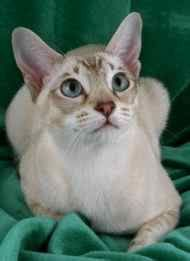 """Tonkinese - The Tonkinese was produced by crossing the Burmese and Siamese breeds.  This playful, people-oriented breed has a moderate body type and sleek soft coat and features a unique pattern knows as """"mink.""""  Tonkinese are available in mink, pointed, and solid colors."""