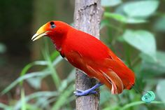 Cup3Tint3: King Bird of Paradise (Cicinnurus regius) male, New Guinea
