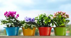 A Simple Trick For Richer And Longer Flowering Of Your Potted Flowers - The Plant Guide Ficus Pumila, Ficus Elastica, Yellow Flowers, Colorful Flowers, Spring Flowers, Colorful Decor, Plant Guide, Primroses, Container Flowers