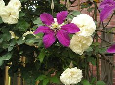 do you grow clematis with Old Roses? - Antique Roses Forum - GardenWeb