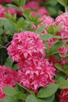 Rhododendron 'Hornebush'✿~༺♥༻~✿