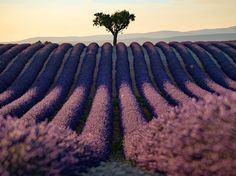 Champs de lavande en Provence, France. Picture of lavender fields in Provence, France