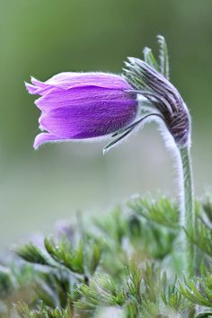 Pasque Flower by Thomas Maier on 500px