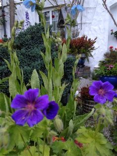 Jeg samler som kjent på blå stauder :) - her er en variant av storkenebb som går mer i blått mot det lilla og med større blomster enn den rosa varianten jeg har / As you know I collect perennials in blue - here´s a variant of Geranium which color is blue/purple with larger flowers than the pink one :)  5.6.2014/IJ