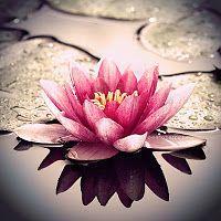 The Lotus Flower, Bliss . The Lotus Flower, Bliss . Lotus Symbol, Tattoo Buddhist, Natur Wallpaper, Dreamy Photography, Photography Flowers, Beauty Photography, Flora Und Fauna, Flower Sleeve, Lotus Tattoo