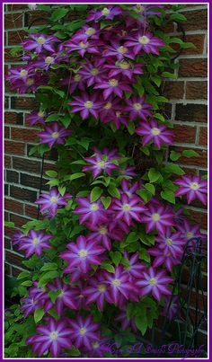 Clematis vine ~   One of the Clematis vines in the back gard…   Flickr