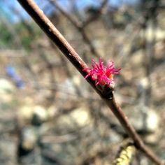 Beaked Hazel - Corylus cornuta - A shrub for the North - Hardy Fruit Tree Nursery