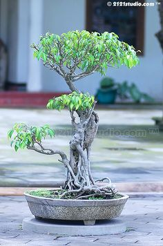 Bonsai | Flickr: Intercambio de fotos