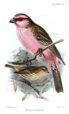 The Himalayan White-browed Rosefinch (Carpodacus thura) is a true finch species (family Fringillidae). It is one of the rosefinches that might belong in the genus Propasser. It is found in Afghanistan, Bhutan, India, Nepal, and Pakistan. Hawfinch, Bullfinch, Butterfly Art, Butterflies, Old Book Pages, Drawing Artist, Bird Illustration, Bird Drawings, Art Clipart