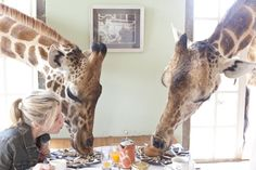 Breakfast with the Giraffes at Rothchild Giraffe Manor - an incredible experience!
