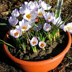 Crocus chrysanthus Blue Bird -bulbsdirect $0.34 per bulb