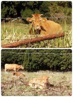 熊本県阿蘇でかわあえい牛の親子に出逢いました(っωc) こんなに近くに寄っても逃げないほど人慣れしているようです  癒されますねぇ() 自然あふれる阿蘇が大好きです  #熊本県阿蘇#自然#牛 tags[熊本県]