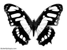 butterflies oh butterflies
