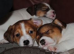 Gorgeous little Jack Russell puppies