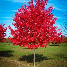 Red Sunset Red Maple | The Tree Center™