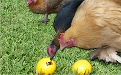 """Called a """"Chicken Fun Toy"""" fill with treats and they chase it around the yard. They like it and I do too."""