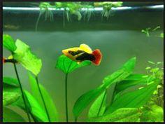 Beautiful Fish#Fish #FishTank #TropicalFish #Fishing #NomCat #Salmon #Aquarium #Health #Food #Healthy #Seafood #Heart #HealthyLiving #FishTank #HeartHealth #Recipe #FlyFishing #TropicalFish #HealthyEating #Trout #Goldfish #Cooking #Water #Goldfish #Water #Saltwater #Vancouver #Dubai #NomCat #MontereyBayAquarium #SeaLife #UAE #fish #aquarium #fishtank #swim #swimming #water #coral #reef #reeftank #tropical #koi #saltwater #freshwater #beautiful #ocean #watertank #blueoranda #orandagoldfish…