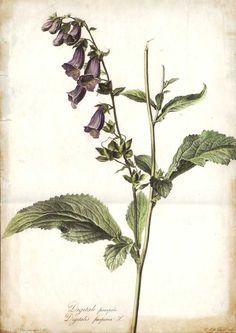 Plantaginaceae - Digitalis purpurea From: Fleurs dessinées d'après nature … by Gerard van Spaendonck. 1801