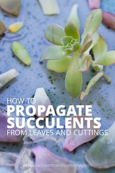 You'll love this step by step tutorial for propagating succulents from leaves and cuttings!