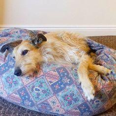 My lovely doggy Misha came for a visit :) #dog #doggy #petsofig #lurcher #lurchers #lurcherlove #lurchersofinstagram #lurchersofig #adoptdontshop #stray #rescuedismyfavoritebreed #rescuedog #visitor #beanbag #love #ladydog #happydog #relaxeddog #puppydog #lovedogs #paws #pawstruck #comfort #pooch #spoiltdog #spoiltrotten #instadogs #instadoggy #Limerick #Ireland