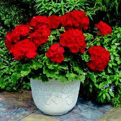 Image may contain: plant, flower, outdoor and nature Geraniums Garden, Red Geraniums, Garden Pots, Garden Club, Summer Flowers, Beautiful Flowers, Plants For Planters, Geranium Care, Mediterranean Garden