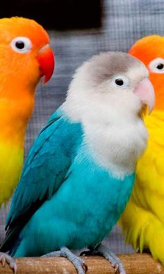 Parrots are the animals i have at my house they are really cool they like to mimic people and say things when they come into my house.