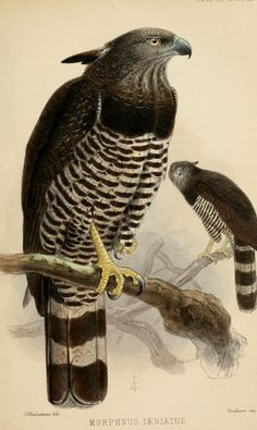 "Morphnus taeniatus, band crested eagle, a vintage illustration from ""Note upon Three American Raptorial Birds apparently new to science"""