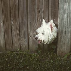 A Westie checking out life outside the gate!