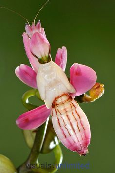 Orchid Mantis. One of the most perfect camouflage in the animal world.