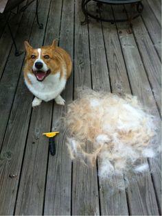MAMA LOOK AT MY HURR (I could make an entirely new corgi out of that pile!)