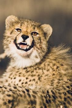 African Cats, Cheetahs, Big Cats, Lion, Animals, Beautiful, Wild Animals, Leo, Animales