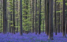 A Mesmerizing Flower Bloom Turns This Entire Forest Blue Every Spring | This Belgian forest looks like a scene straight out of a fairy tale.