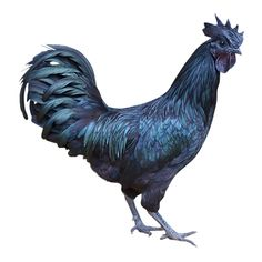 Meet the $2,500 Chicken - Ayam Cemani!  Its bones and muscles are black!!  This is the most metal chicken I have ever seen.
